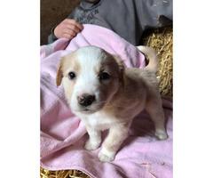 Purebred English Shepard puppies