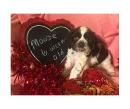 Cocker spaniel for sale - 1 beautiful girl and 2 handsome boys