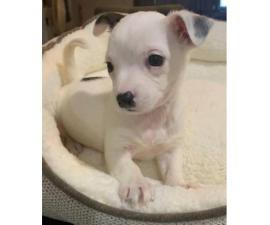 Small breed cuties Toy Chihuahua 2 months old