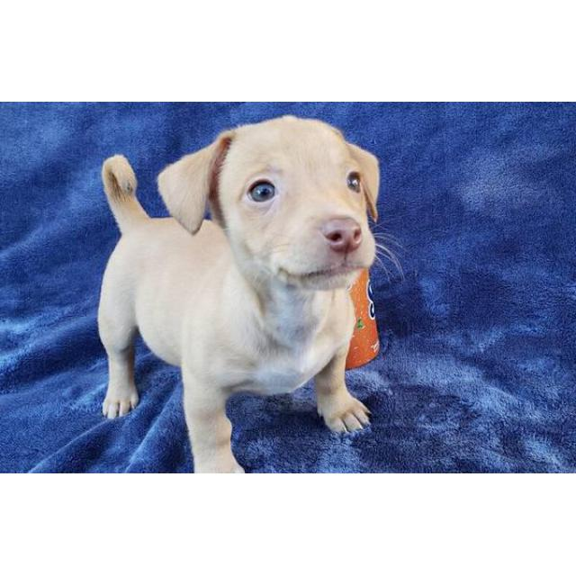 Chihuahua Dachshund Mix Only 1 Male Left In Kalihi Hawaii