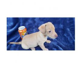 Chihuahua / Dachshund mix Only 1 Male left