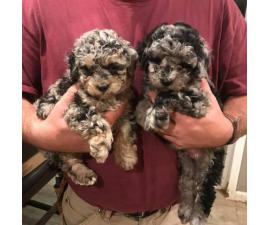 Beautiful Maltipoo puppies for adoption in Waco, Texas