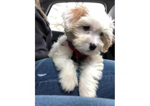 Cavachon puppy for sale by owner - Puppies for Sale Near Me