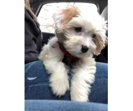 2 months old Cavachon Puppies
