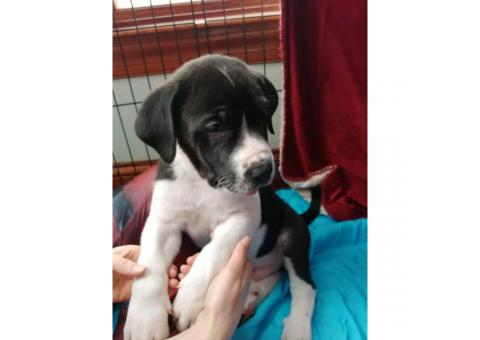 Great Dane Mixed Pyrenees Puppies