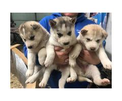 6 beautiful husky pups up for adoption