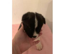 30 days old Akita puppies for sale