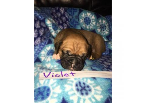AKC Registered Boxer Puppies Litter of 8