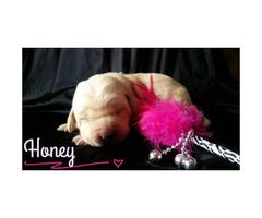 Adorable lab puppy