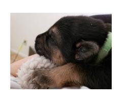 8 beautiful german shepherd puppies in 2019