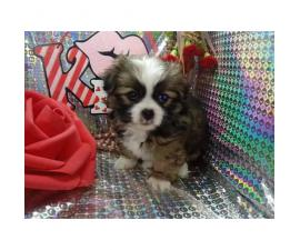Japanese chin male puppy just in time for Valentine's day