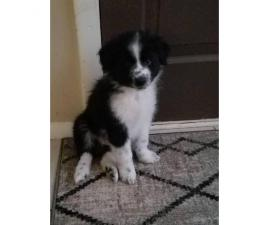 9 Weeks old Black Australian Shepherd puppy