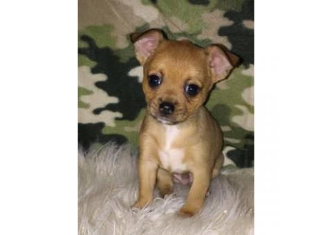 We've 3 male Chihuahua puppies offering for adoption