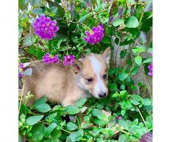 Beautiful German Shepherd/ Husky/ Rough Collie Mixed pups