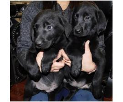 9 weeks old Lab Puppies