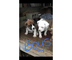 Free puppies boxer mix