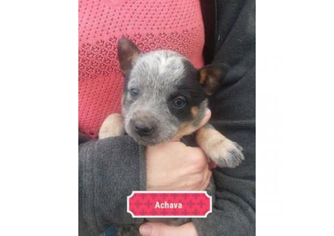 4 sweet blue heeler puppies looking for a forever home