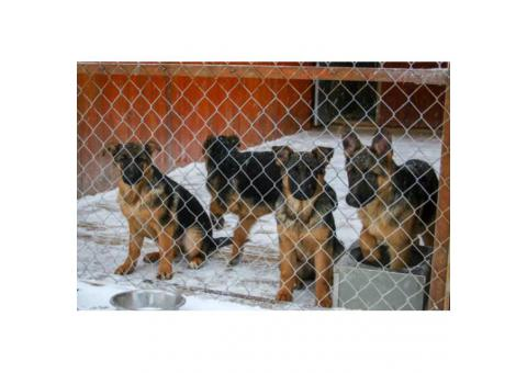German Shepherd puppy available with AKC pedigrees