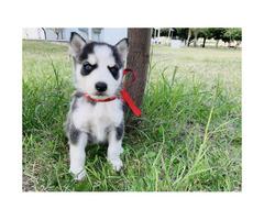 8 week old Husky