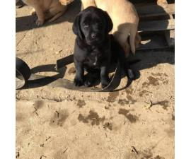 Goldador Puppy For Sale By Owner Puppies For Sale Near Me