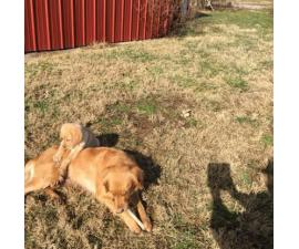 2 Months Old Golden Retriever Lab Puppies In Rochester Indiana Puppies For Sale Near Me