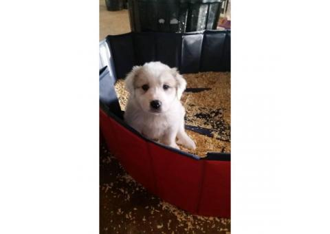 Purebred Great Pyrenees Puppies  3 females available