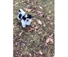 Shihtzu/Bichon Female Puppies for Sale