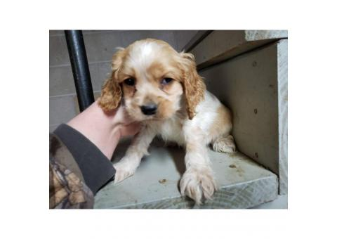 3 Male king Charles spaniel puppies for sale