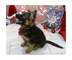 German Shepherd Pup 14 Week Old