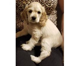 Full blooded white cocker spaniel puppy in Finland