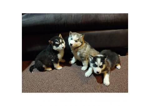 Husky puppies for sale 5 left hurry