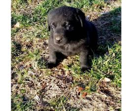 Black, males and females available 6 weeks old lab puppy
