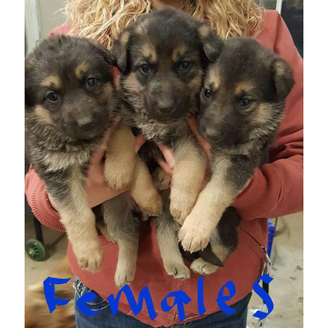 Akc registered black and tan German Shepherd Puppies For Sale In Finland
