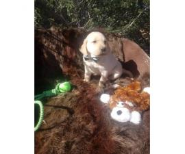 AKC registered Labrador Retriever puppies Black and yellow