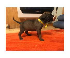 English Neapolitan Mastiffs Puppies
