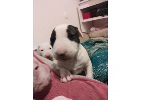 4 bull terrier puppies they are 9 weeks old