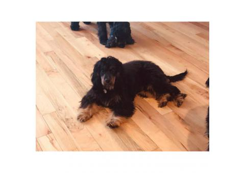 Handsome and happy Black and Tan Cavalier/Cocker Spaniel Puppy