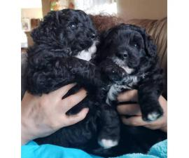 Two females Hypoallergenic Portuguese water puppies