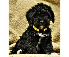Adorable Mini Bernedoodle puppies adoption fees