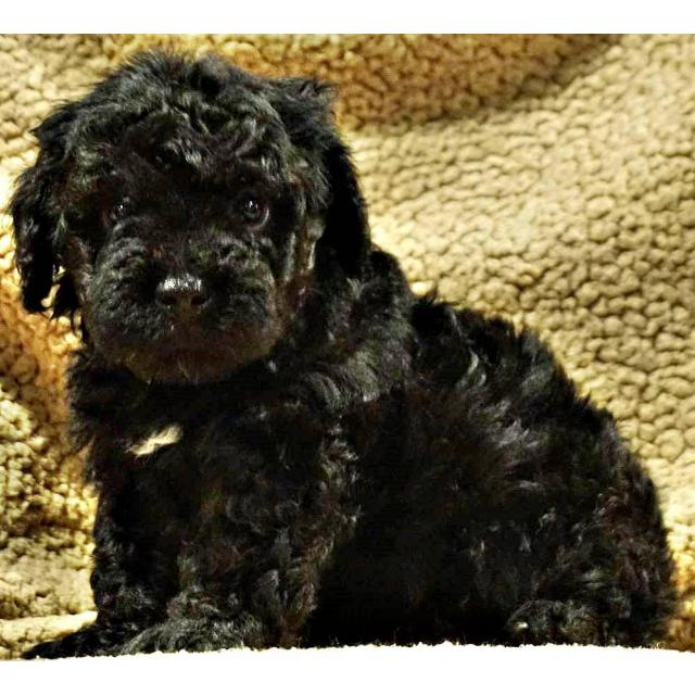 Adorable Mini Bernedoodle Puppies Adoption Fees In