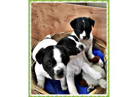 Adorable AKC Jack Russell terrier 3 male puppies