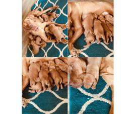 Vizsla Puppies ready for new homes