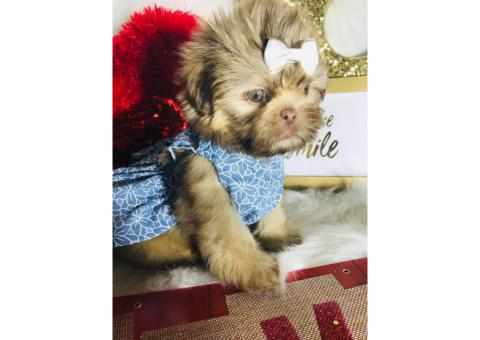 3 Female Shih Tzu Puppies Super Cute