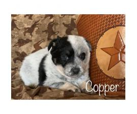 Blue Heeler puppies wii be ready on February 4th