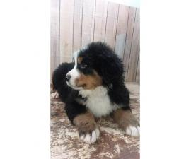 9 weeks old Bernese Puppies  2 females and 2 males available