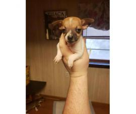 2 males Toy Fox Terrier Pups