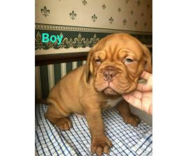 3 boys & 3 girls dogue de bordeaux puppies