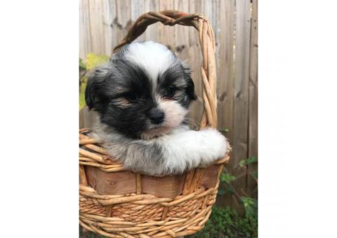 8 weeks old Shihtzu puppies ready for their new home
