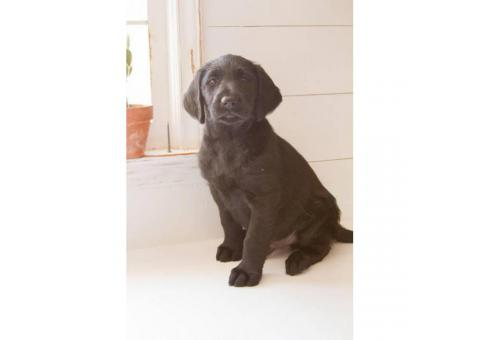 Wonderful labradoodle babies available