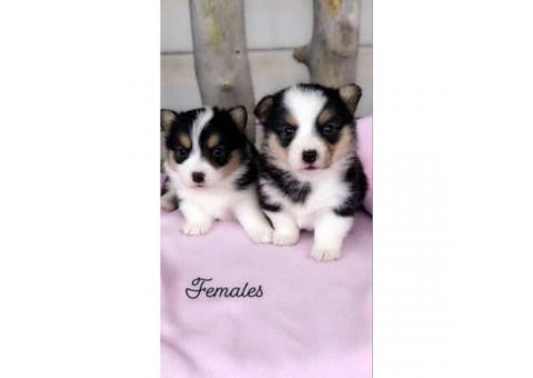 CKC registered corgi puppies